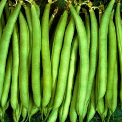 Фасоль Патион  /100.000 семян/ *Syngenta*