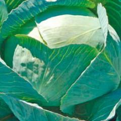 Капуста белокочанная Лексикон F1 /2.500 семян/ *Syngenta*