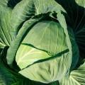 Капуста белокочанная Новатор F1 /2.500 семян/ *Syngenta*
