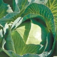 Капуста белокочанная Зелонор F1 /2.500 семян/ *Syngenta*