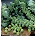 Капуста брюссельская Абакус F1 /2.500 семян/ *Syngenta*
