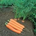 Морковь Дордонь F1 /50.000 семян (>1,6г)/ *Syngenta*