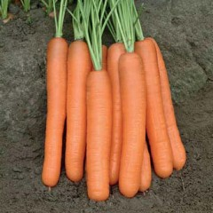 Морковь Чемпион F1 /100.000 семян/ *Syngenta*