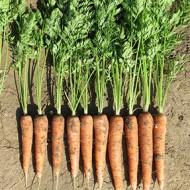 Морковь Редко /100.000 семян/ *Syngenta*