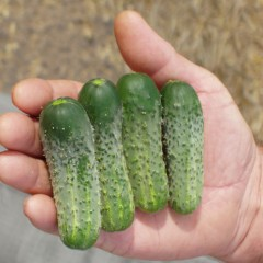 Огурец Пасамонте F1 /500 семян/ *Syngenta*