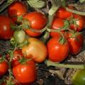 Томат Чибли F1 /2.500 семян/ *Syngenta*