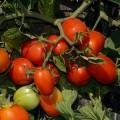 Томат Астерикс F1 /2.500 семян/ *Syngenta*