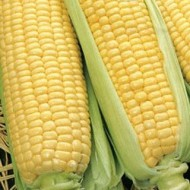 Кукуруза сахарная Оверленд F1 /1 кг семян/ *Syngenta*