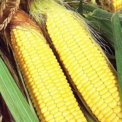Кукуруза сахарная Бостон F1 /100.000 семян/ *Syngenta*