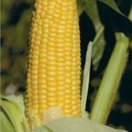 Кукуруза сахарная GH 2042 F1 /100.000 семян/ *Syngenta*