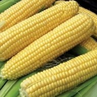 Кукуруза сахарная GH 6462 F1 /100.000 семян/ *Syngenta*