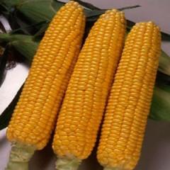 Кукуруза сахарная Свитстар F1 /100.000 семян/ *Syngenta*