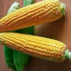 Кукуруза сахарная Оверленд F1 /100.000 семян/ *Syngenta*