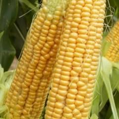 Кукуруза сахарная Шайнрок F1 /100.000 семян/ *Syngenta*