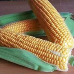 Кукуруза сахарная GSS 1477 F1 /100.000 семян/ *Syngenta*