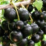 Саженец смородины черной сорт Тритон
